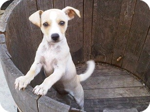 Tustin Ca Jack Russell Terrier Meet Kelsey A Pet For