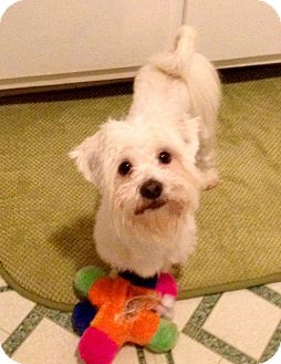 Birmingham, AL - Maltese  Meet Winston Furhill a Pet for