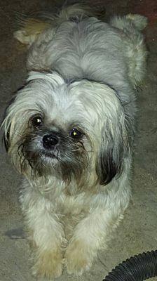 Louisville Ky Shih Tzu Meet Oliver A Pet For Adoption