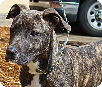 Groton Ma Pit Bull Terrier Meet Cookie 2 A Pet For