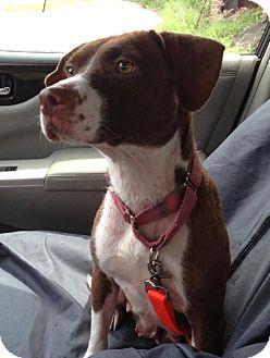 Hound (Unknown Type)/American Staffordshire Terrier Mix Dog for adoption in Schererville, Indiana - Anna
