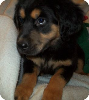 Mechanicsburg Pa Rottweiler Meet Annie A Pet For Adoption