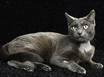 Domestic Shorthair Cat for adoption in Gainesville, Florida - Tyrian