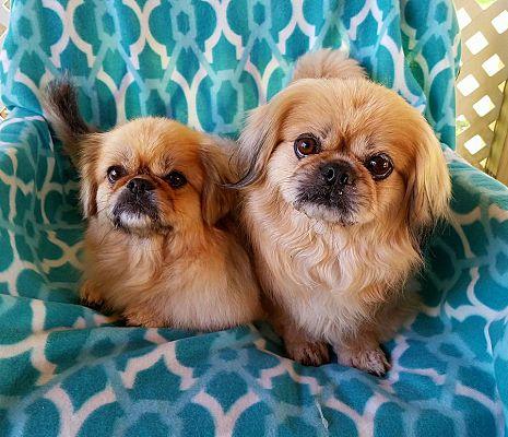 Pittsburgh Pa Pekingese Meet Kimchi A Pet For Adoption