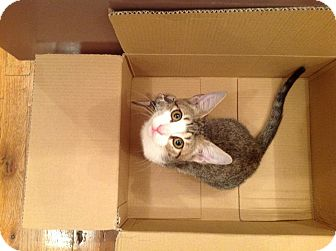 Domestic Shorthair Kitten for adoption in Brooklyn, New York - Percy