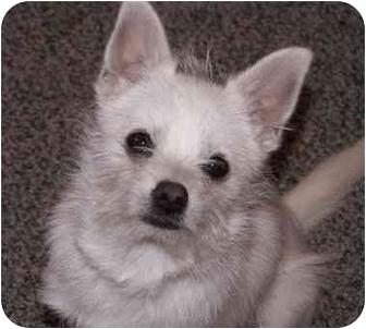 Manahawkin Nj Westie West Highland White Terrier Meet Roo A Pet
