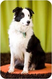Border Collie Dog for adoption in Portland, Oregon - Marta