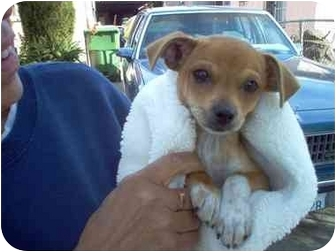 Terrier (Unknown Type, Small)/Chihuahua Mix Puppy for adoption in Culver City, California - Baby Face