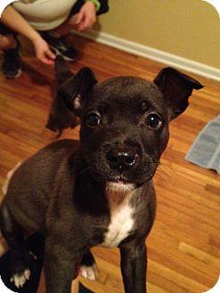 Orlando Fl Boston Terrier Meet Samo A Pet For Adoption