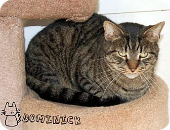 Domestic Shorthair Cat for adoption in River Edge, New Jersey - Dominick