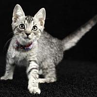 Adopt A Pet :: Thomas - Gainesville, FL