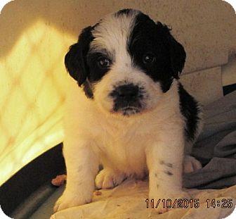 Border Collie/German Shorthaired Pointer Mix Puppy for adoption in Portland, Maine - BoDeen