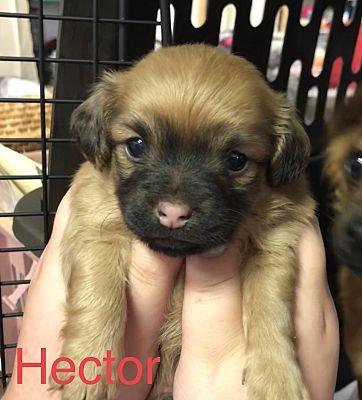 Winston Salem Nc Chihuahua Meet Hector A Pet For Adoption