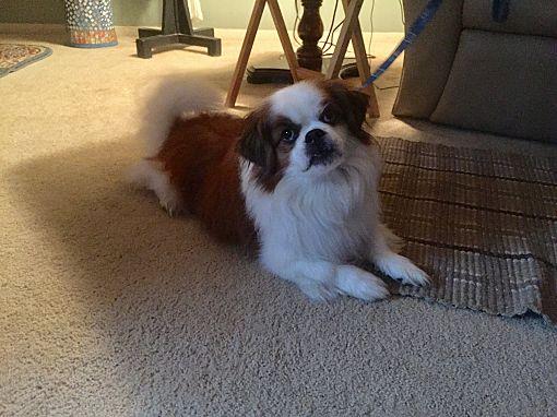Mentor Oh Shih Tzu Meet Giz 6yr Adopted A Pet For Adoption