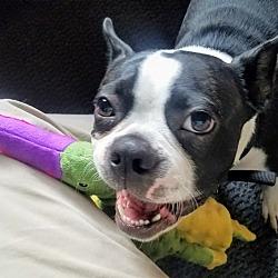 Pug Puppies for Sale in Minneapolis Minnesota - Adoptapet com