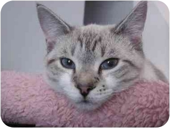 Siamese Cat for adoption in Panama City Beach, Florida - Amelie