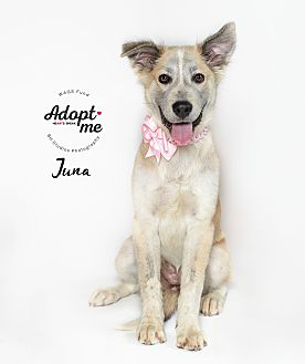 Adopt A Pet :: Juna  - Houston, TX