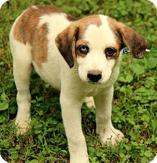 Plainfield Ct St Bernard Meet Dalton A Pet For Adoption