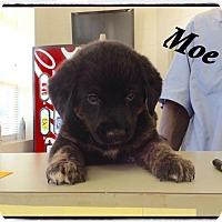 Adopt A Pet :: Moe - Tampa, FL