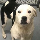 Adopt A Pet :: Shasta