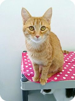 Domestic Shorthair Cat for adoption in Austintown, Ohio - Chaos