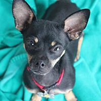 Adopt A Pet :: Toby - Phoenix, AZ