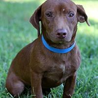 Adopt A Pet :: Landry - Waldorf, MD