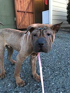 Adopt A Pet :: Little Pete  - Renton, WA