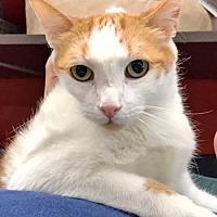 Domestic Shorthair Cat for adoption in Brooklyn, New York - Oskar is Oh-So-Friendly