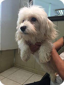 Havanese Dog for adoption in Center Moriches, New York - Hannah