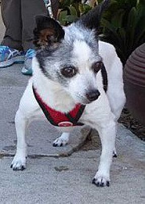 San Diego, CA - Chihuahua  Meet Guest Post - (Bonded) Bella a Pet
