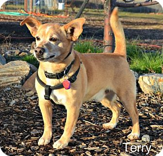 Terrier (Unknown Type, Medium)/Chihuahua Mix Dog for adoption in Yreka, California - Terry