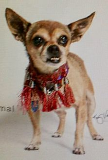 Adopt A Pet :: Teddy Bear, 11 year old angel  - Corona, CA