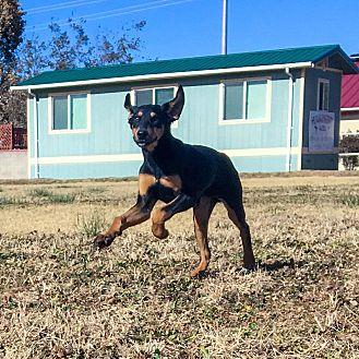 Adopt A Pet :: Dax  - Albuquerque, NM