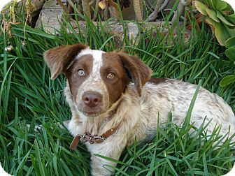 brittany spaniel puppies for adoption