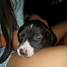Adopt A Pet :: Poppy's Pup Collin