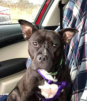 Adopt A Pet :: Sydney  - Troy, MI