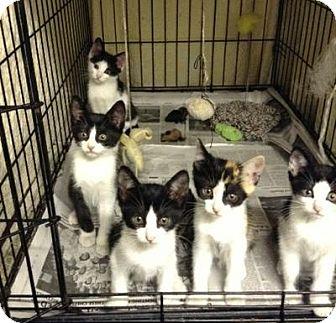 Domestic Mediumhair Kitten for adoption in Queens, New York - Sweet kittens!