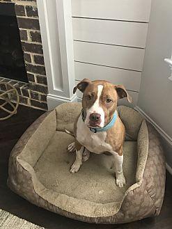 American Pit Bull Terrier Mix Dog for adoption in Evans, Georgia - Nala