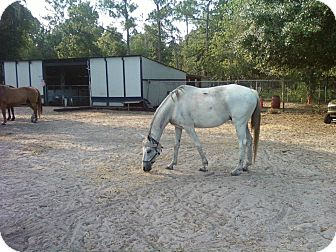 Thoroughbred Mix for adoption in Wesley Chapel, Florida - Fagozee