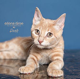 Adopt A Pet :: Dashiell (Dash)  - Houston, TX