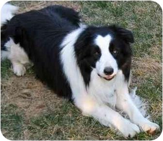 Dogs For Sale Denver Co Pitbull