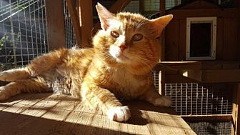 Domestic Shorthair Cat for adoption in Capshaw, Alabama - Theodore