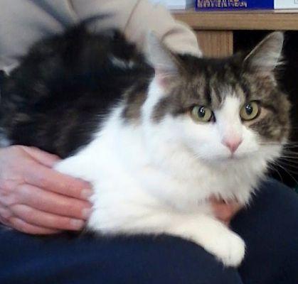 Lancaster Pa Maine Coon Meet Sammi A Pet For Adoption