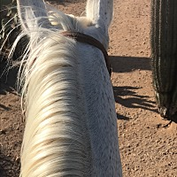 Quarterhorse for adoption in Tucson, Arizona - C. Dandy Dolly