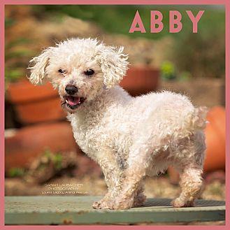 Abby - SPONSORED - Female Bichon Frise | Ohio | Louie's