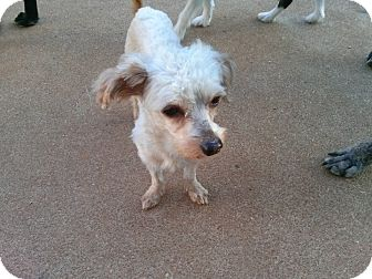 Poodle (Miniature) Mix Dog for adoption in waterbury, Connecticut - Sergei