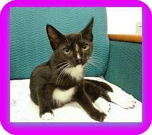 Domestic Shorthair Kitten for adoption in Trevose, Pennsylvania - Phoenix