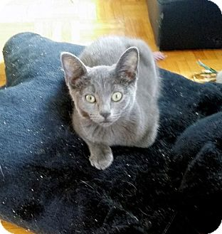 Mississauga, Ontario, ON - Russian Blue  Meet Aqua a Pet for