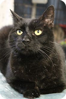 Domestic Shorthair Cat for adoption in Yukon, Oklahoma - Ace
